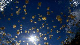 swarm of sea thimble jellyfish or thimble sea jelly