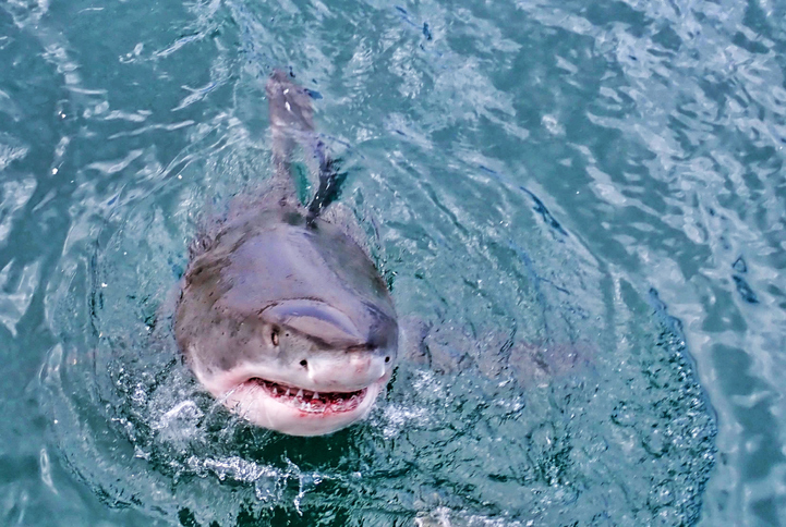 White Shark Protruding From The Water