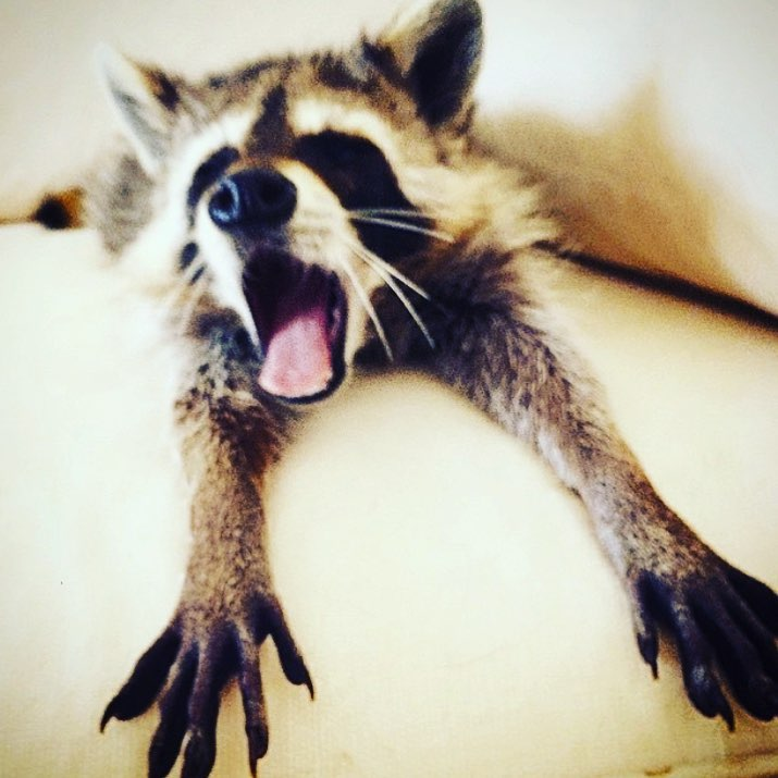 Orphaned Raccoon is Barking Up The Wrong Tree!